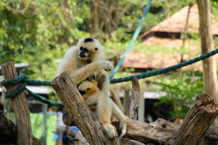 hairy arms: Pileated gibbon mother and son in the zoo