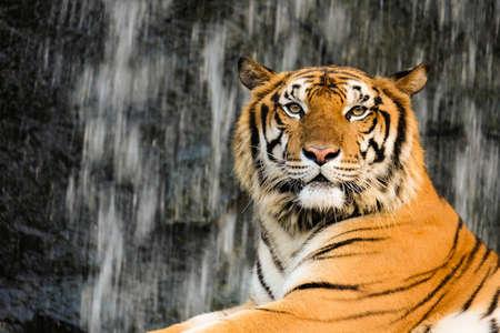 Tiger, portrait of a bengal tiger.