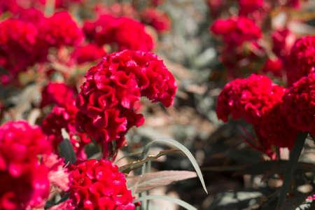 cockscomb: Cockscomb red flower,selective focus. Stock Photo