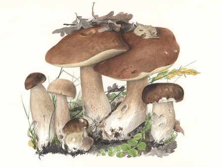 Illustration of a group of wild mushrooms in natural context, against off-white background Imagens - 24184022