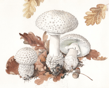 Illustration of a group of wild mushrooms in natural context Imagens - 24545207