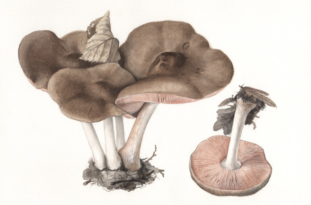 Illustration of a group of wild mushrooms in natural context Imagens - 24545210