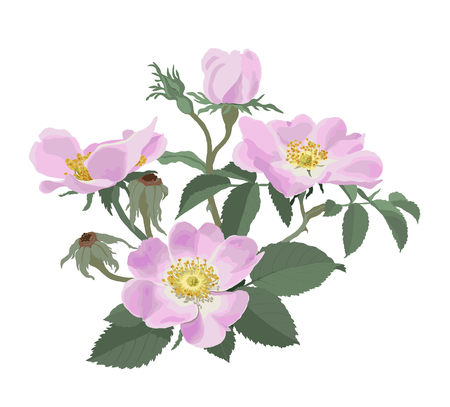 dog rose: Wild roses  Rosa canina  -  Hand drawn vector illustration of pink wild roses on white background  in a botanically correct manner Illustration