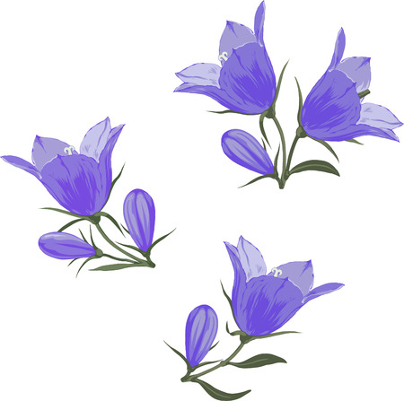 Bell flowers  Campanula  -  Hand drawn vector illustration of blue bellflowers and buds on white background