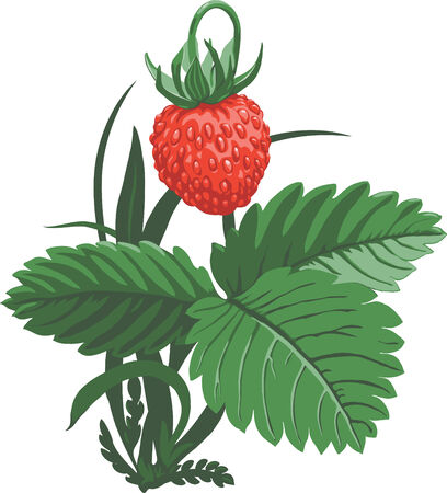 Wild strawberry - Hand drawn vector illustration of wild strawberry and leaf on white background Ilustração