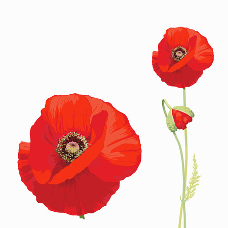 manner: Red poppy  Papaver rheas  - Hand drawn vector illustration of a red poppy in full bloom and a bud, on white background, in a botanically detailed, true manner