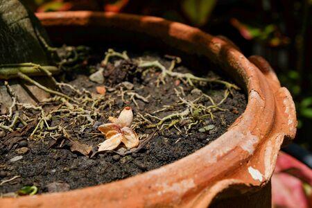 lombriz de tierra: Morir ixora en el pote de árbol