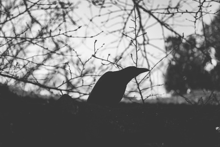 Silhouette of black creepy crow with tree branch in the background.