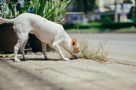 White chihuahua dog snuff on the ground under sunlight Stock Photo