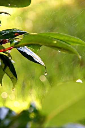 leafs: Wet leafs in the rain with water drops Stock Photo