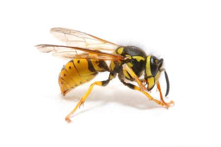 白で隔離ハチのクローズ アップ 写真素材