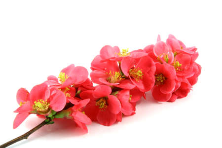 love tree: Spring pink flowers on a branch isolated on white  Stock Photo
