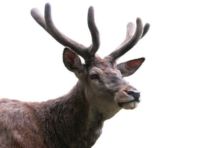 uncouth: wild stag portrait isolated on white for hunting