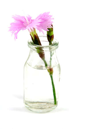 gillyflower: Violet dianthus in a little jar with water