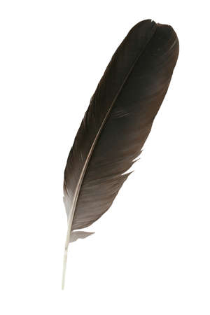 black feather: Black feather close-up on a white
