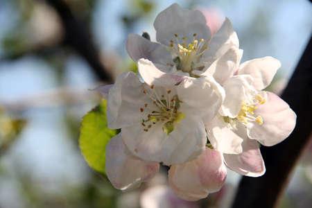 Fiori di primavera ciliegio focalizzata sul centro su una sfocatura
