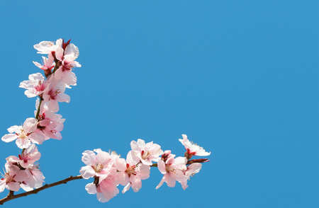 blu sky: Pink cherry flowers on a blu sky for gretting-cards or postcards Stock Photo
