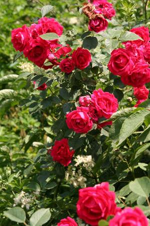 Rose rosse in un giardino estivo con un sacco di verde