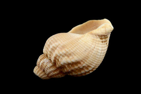 Close up of a seashell isolated on black