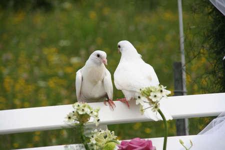 due colombe bianche di nozze su una panchina bianco in una cerimonia di nozze