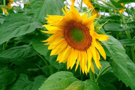 leafs: Nice sunflower on green leafs