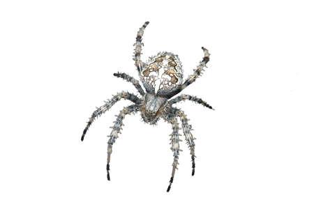 primo piano di un ragno con una croce sul dorso isolato su bianco