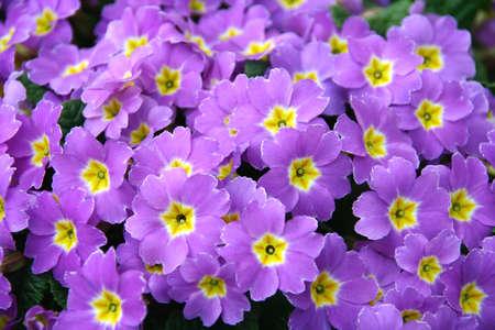 Violet fiori primavera texture buona da utilizzare come focalizzata sul centro della foto
