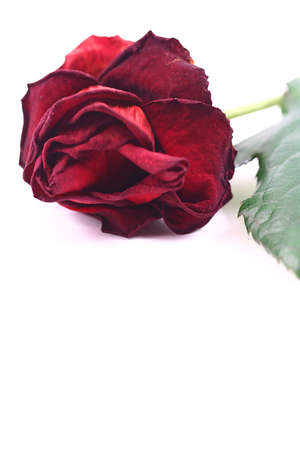 Red rose on a linear white  Archivio Fotografico