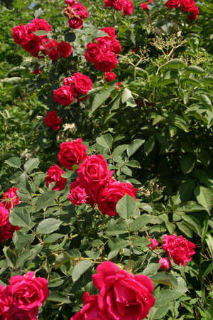 bevy: Red roses in a summer garden and lot of green