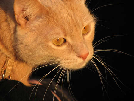 whiskers: Yellow cat with long whiskers