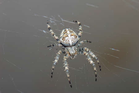 hairy legs: Close-up of a spider with a cross on the back