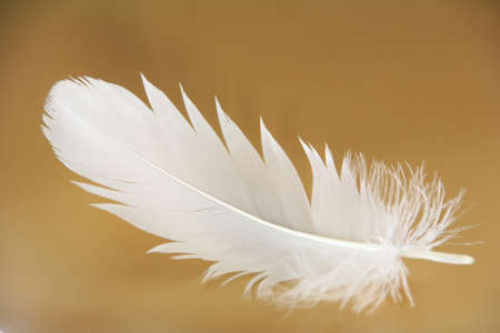 weightless: Small feather close-up on a gold