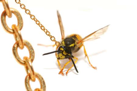 Close-up di una vespa vincolati isolato su bianco Archivio Fotografico