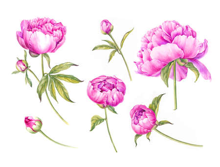Set of watercolor pink peonies. Branch of pink peonies isolated for design Stock fotó