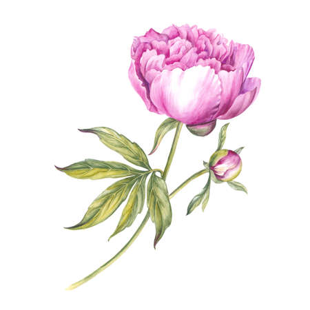 Pink peony flower. Watercolor illustration. Botanical design. Stock Photo
