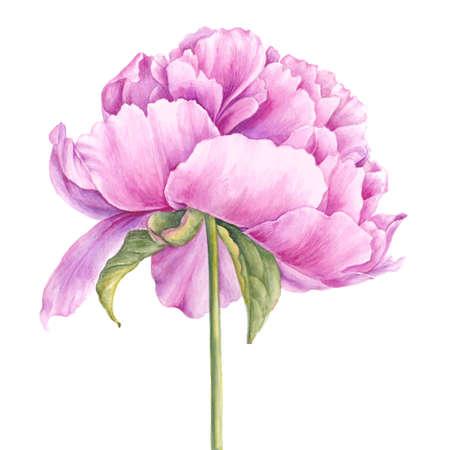 aquarel: Pink peony flower. Watercolor illustration. Botanical design. Stock Photo