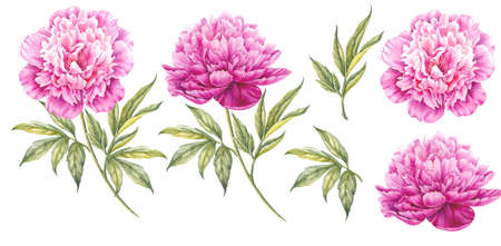 Set of watercolor pink peonies. Branch of pink peonies isolated for design. Botanical illustration.