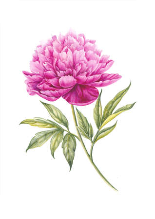 watercolour: Watercolor pink peonies. Separate flower, leaf, sprigs, isolated watercolor illustration