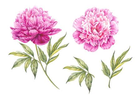 Set van aquarel roze pioenen. Tak van roze pioenen geïsoleerd voor ontwerp. Stockfoto