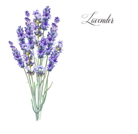 Lavandula aromatic herbal flowers. Bouquet of lavender for your greeting card design. Watercolor illustration isolated over white background. Stock Photo