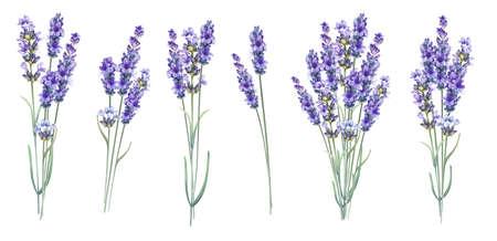 Lavandula 향기로운 초본 꽃입니다. 여름 라일락 꽃의 컬렉션입니다. 굉 장 푸른 꽃을 설정합니다. 결혼, 결혼 또는 초대 카드 팩. 수채화 그림 흰색 배경