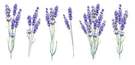 Lavandula aromatic herbal flowers. Summer collection of blossom lavender. Awesome blue flowers set. Pack for marriage, wedding or invitation cards. Watercolor illustration isolated over white background.