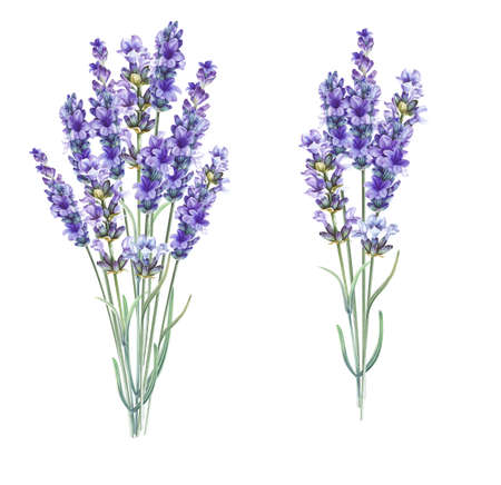 Lavandula aromatic herbal flowers. Bouquet of lavender for your greeting card design. Watercolor illustration isolated over white background.