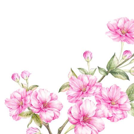 Rosa Kirschblüte blüht die Niederlassung, die über weißem Hintergrund lokalisiert wird. Botanische Illustration des realistischen Aquarells.
