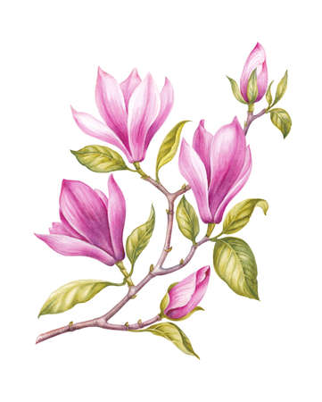 Watercolor pink Magnolia blossom flower.