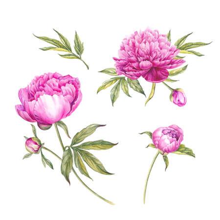 Set van aquarel roze pioenrozen. Tak van roze die pioenen voor ontwerp worden geïsoleerd