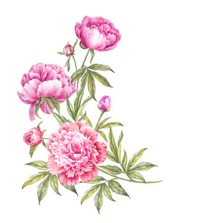 Bouquet of watercolor pink peonies. Branch of pink peonies isolated for your spring design.