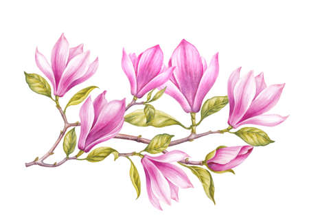 Watercolor Painting Magnolia blooming flower. Wreath of flowers in watercolor style over white background. Spring flowers.