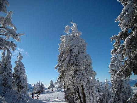 Beautiful Snow Covered Conifer Trees in sunny days, Poiana Brasov, Romania Фото со стока