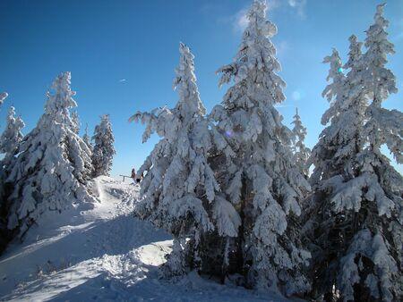 Beautiful Snow Covered Conifer Trees in sunny days, Poiana Brasov, Romania 免版税图像